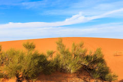 Green shrub in the Sahara Royalty Free Stock Photos