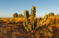 Green shrub in the Sahara Royalty Free Stock Image