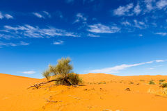 Green shrub in the Sahara. On the background of blue sky green shrub in the Sahara desert Stock Images