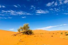 Green shrub in the Sahara. Stock Images
