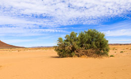 Green shrub in the Sahara desert Stock Photography