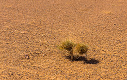 Green shrub in the Sahara desert Royalty Free Stock Images
