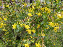 Green shrub with small yellow flowers.  Stock Photo