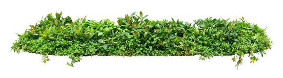 Green shrub. On white background Stock Photos