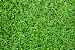 Green Shrubbery Hedge on Fence Stock Image