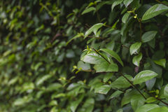 Green shrubbery wall. Stock Images