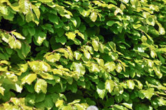 Green shrubby foliage Stock Images