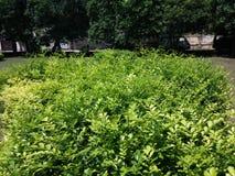 Green shrubs. In a garden Stock Photography