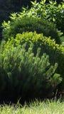 Green shrubs. In the garden stock photography