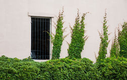 Green Shrubs and Ivy on Plaster Wall Stock Photography