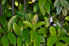 Green shrubs. Green plants with a big leaves Stock Image