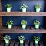 Green Shrubs in Pots. Nine small green shrubs in green pots, equally spaced on wooden shelves stock images