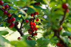 Green shrubs with red berries, currants on branches stock photography