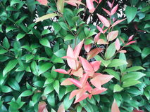 Green shrubs with young red leaves Stock Photo