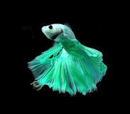 Green siamese fighting fish isolated on black background. Green siamese fighting fish isolated on black background royalty free stock photo