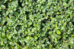 Green siamese rough bush Royalty Free Stock Images
