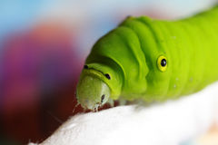 Green silkworm Stock Photos
