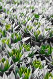 Green and silver flower petals. A lot of green and silver flower petals in pots royalty free stock photos