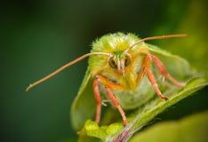 Green Silver-lines (Pseudoips prasinana) resting o. Mesmerizing green moth staring right at you Royalty Free Stock Photo