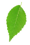 Green single leaf Royalty Free Stock Photos