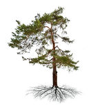 Green single pine with root Stock Image