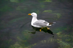 On the Green. Single seagull on green clear waters Stock Images