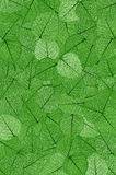 Green skeletal leaves. Background - montage royalty free stock photo