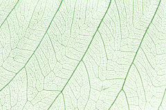 Green skeleton leaf Royalty Free Stock Photography