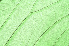 Green skeleton leaf structure Stock Photography