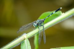 Green Skimmer Royalty Free Stock Images