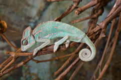 Green sleeping chameleon with twisted tail Stock Photography