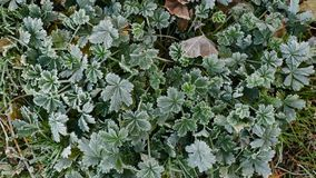 The green and slightly dry leaves are covered with a layer of froth. Grass in the frost. Royalty Free Stock Photography