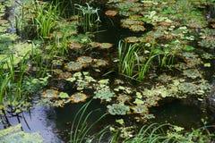 Green slime and duckweed Stock Image