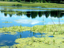 Green slime in the marsh. And on the background reflected sky reflection Royalty Free Stock Photo