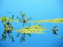 Green slime in the marsh. And on the background reflected sky reflection Stock Photo