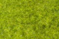 Green slime with small bubbles. Natural background of a abstract organic slimy substance with algae and small bubbles Stock Images
