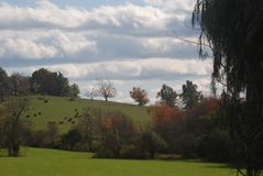 Green sloping field with cows in the distance.  Green, orange, red and yellow trees around the field. Blue sky, fluffy white clouds Stock Image