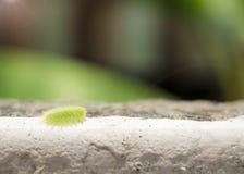 Green slug parasa lepida slow walking on the wall with soft fo. Cus background Stock Image