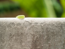 Green slug parasa lepida slow walking on the wall with sunligh. T and soft focus background Stock Photo