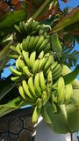 Green small bananas from Zanzibar,  Tanzania Royalty Free Stock Image