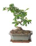 Green small bonsai tree isolated on white Stock Photo