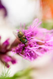 Green, small fly on petal Royalty Free Stock Images
