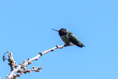 Green Small Hummingbird Bird On The Branch Against Clean Blue Sky Stock Photo