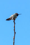 Green Small Hummingbird Bird On The Branch Against Clean Blue Sky Stock Photography