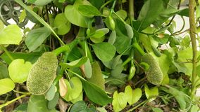 Green with small jackfruits Royalty Free Stock Images