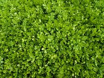 Green small leaves. After rain Royalty Free Stock Image