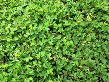Green small leaves Royalty Free Stock Photo