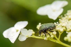 Green Small May-Bug Stock Image
