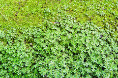Green small and middle mos background. Texture Royalty Free Stock Photography