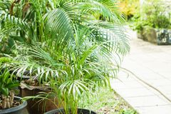 Green small palm plant in pot along the way in garden Stock Photos